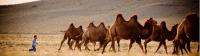 A young Mongolian boy herds Bactrian camels |  <i>Cam Cope</i>