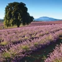 Vibrant lavender fields provide picture-perfect photographic opportunities   Tourism Tasmania & Bridestowe Estate