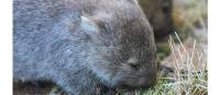 Upclose to the adorable wombat on Maria Island | Toni Wythes