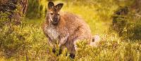 Kangaroo, Tasmania | Peter Walton