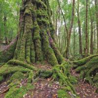Tasmania's pristine forests are a major draw card for many visitors   Peter Walton