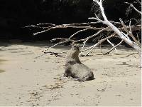 A seal on one of the beaches visited along the South Coast Track in Tasmania |  <i>Alysha White</i>
